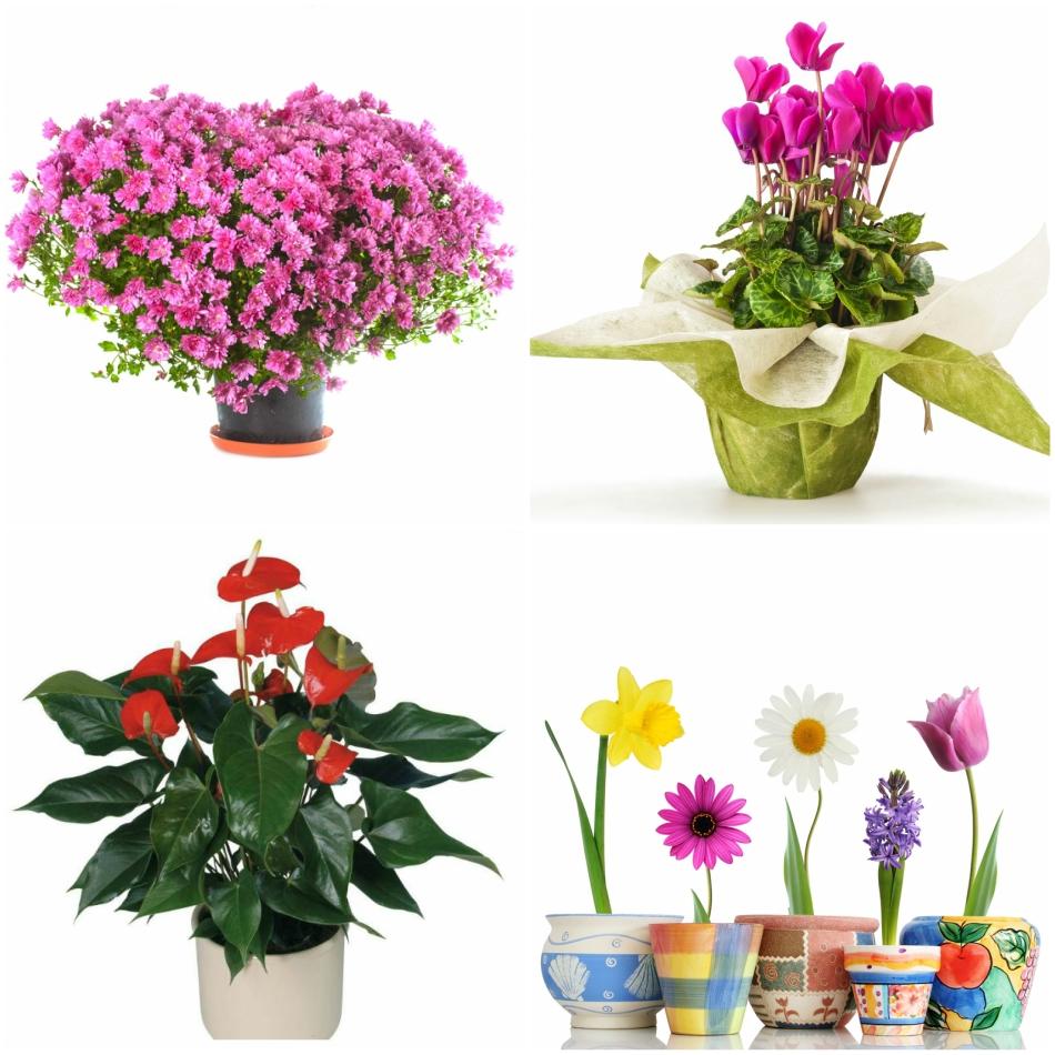 Какие цветы в горшках можно дарить на праздник