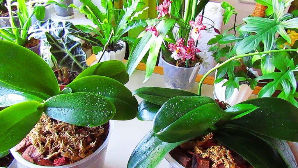 Особенности ухода за зеленой массой орхидеи: