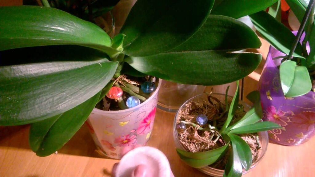Орхидея: как ухаживать за листьями растения