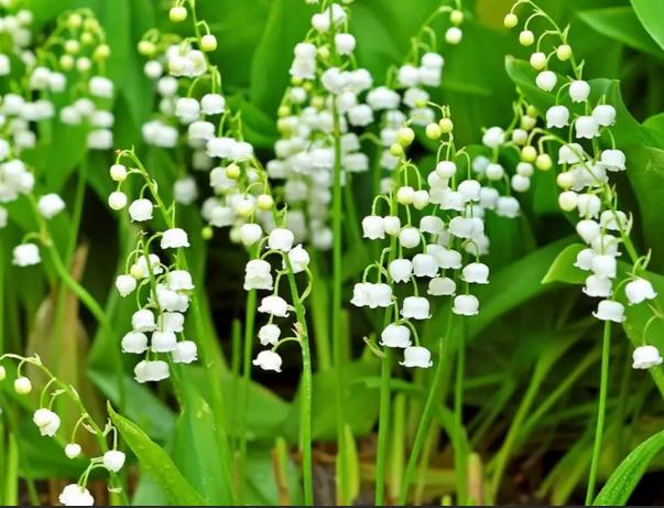 Лекарственное растение ландыш майский