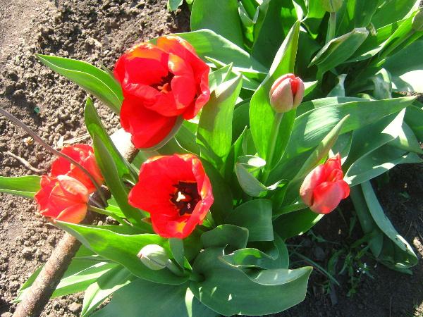 Красные тюльпаны: символика значение и приметы