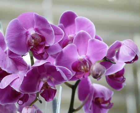 История происхождения орхидеи фаленопсиса