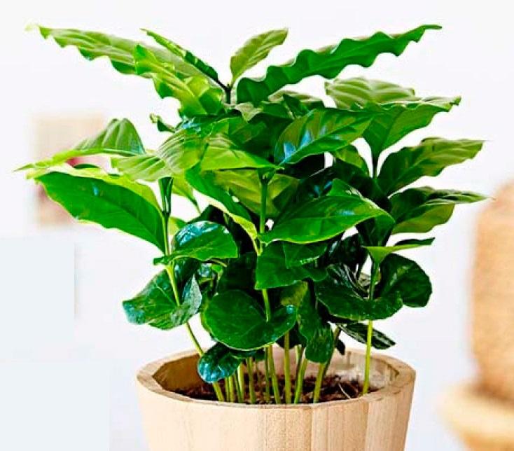Кофейное дерево офисное растение