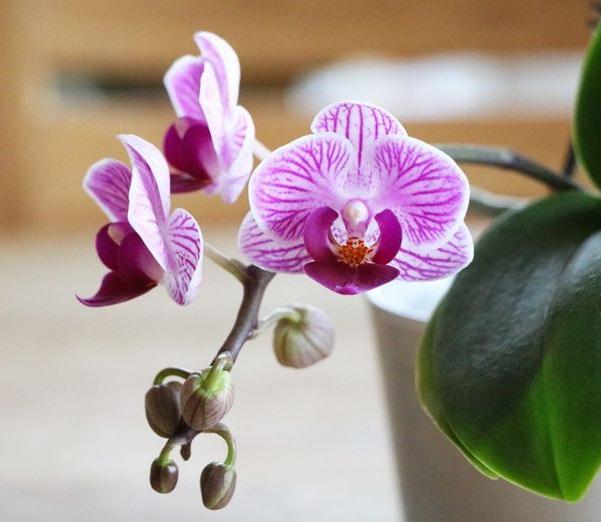 Орхидеи фаленопсиса