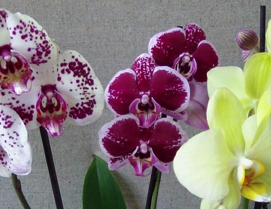 Как выглядит орхидея фаленопсис