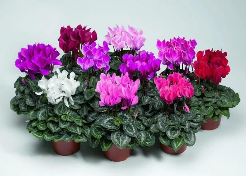 Комнатные цветы любящие тень фото