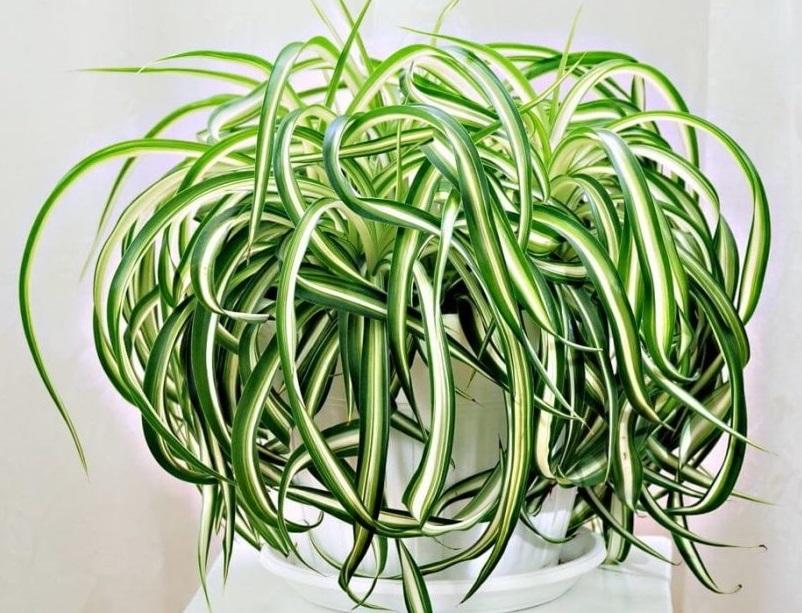 Хлорофитум лучшие растение для любого офиса