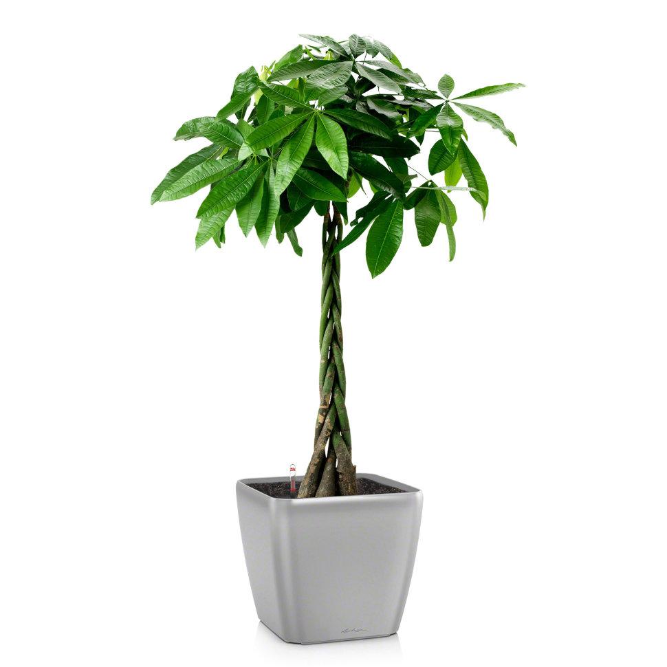 Пахира растение для офиса