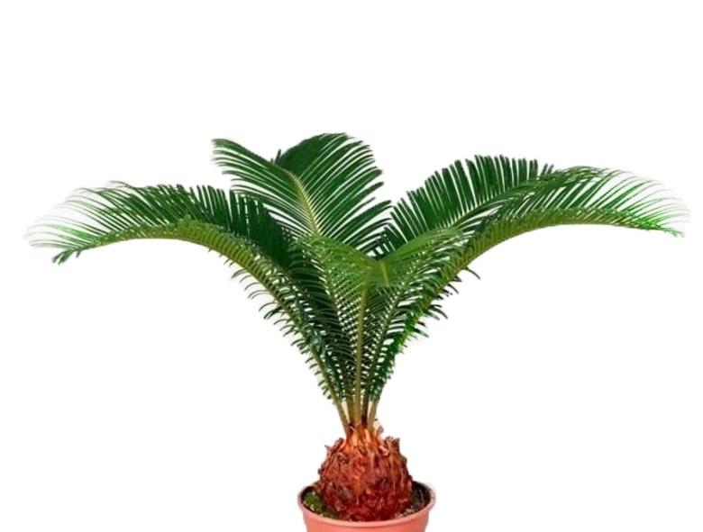 Цикас растения для вашего офиса