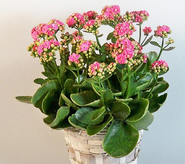 Самое популярное растение для Каланхоэ.