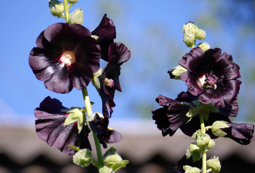 Шток роза черная полезные свойства