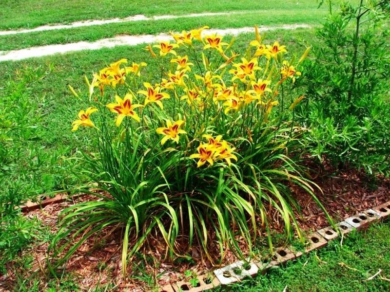 Лилейник выращивание