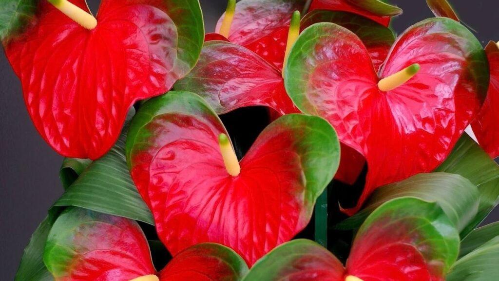 Условия для выращивания и цветения Антуриума