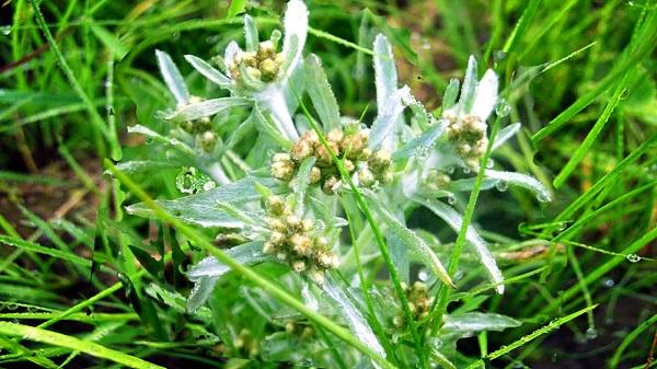 Сушеница болотная свойства, применение и противопоказания